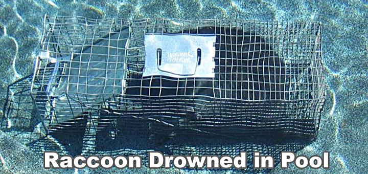 raccooninpool2.jpg
