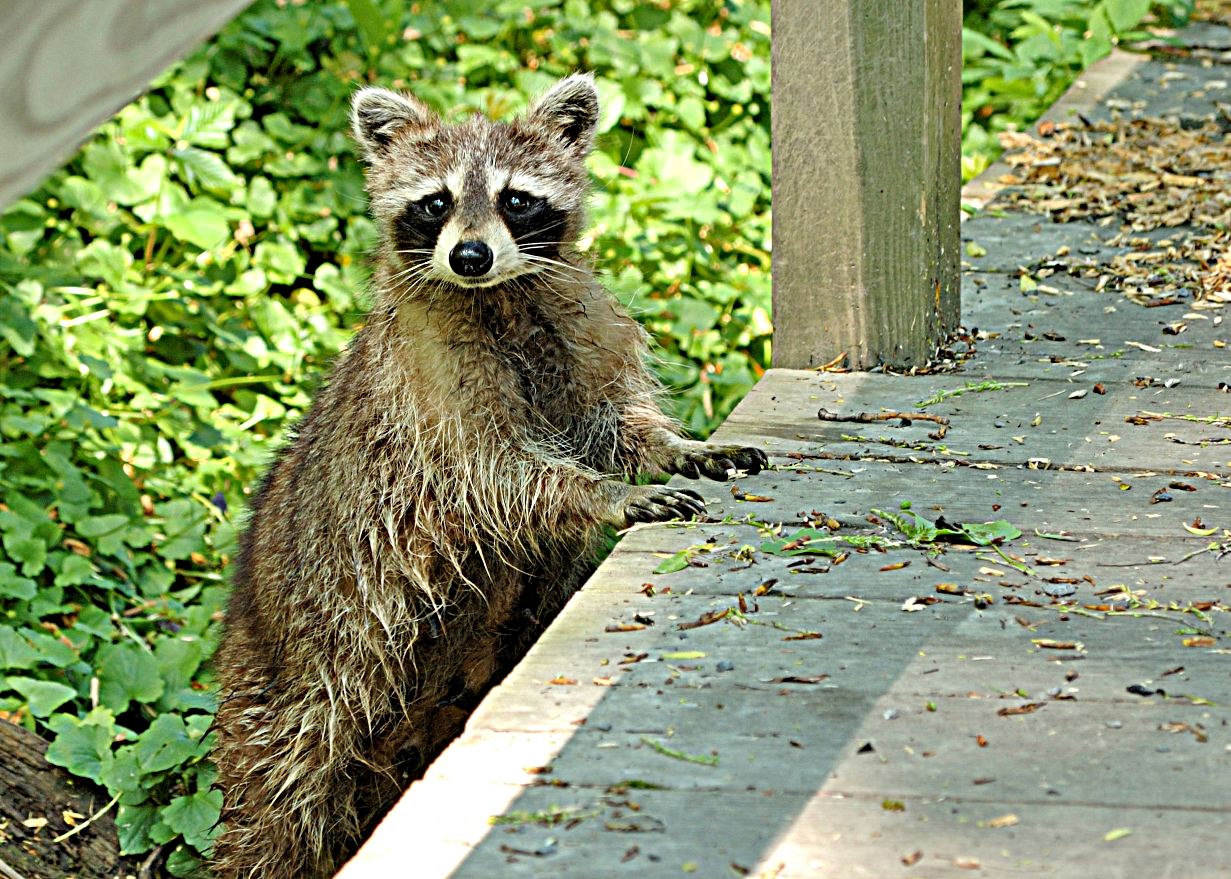 raccoon2.jpg