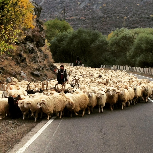 Cycling down the main road we ran into this traffic jam. Sheep running away from winter