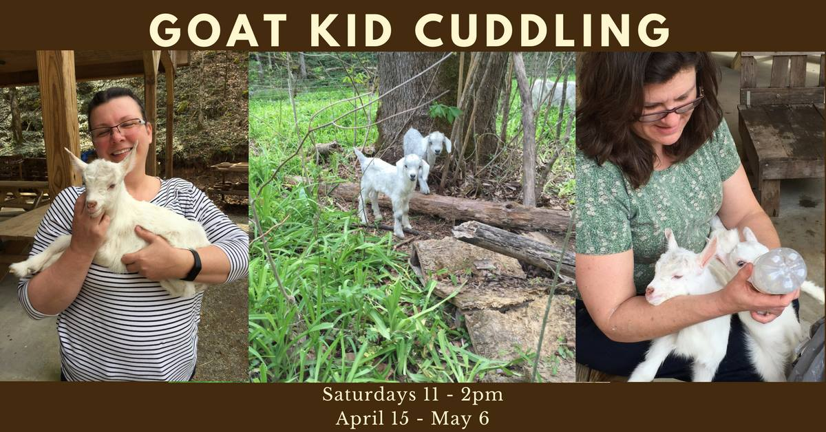 Mountain Hollow Farm  553 Vancel Rd, Tazewell, Tennessee 37879  April is baby goat time! If you want to cuddle a goat kid, come see us between 11 am and 2 pm on Saturdays. This event will run April 15th through May 6th. The first few weeks of life is the best time to get our goats accustomed to being handled by people, and we would love your help! Admission is free!