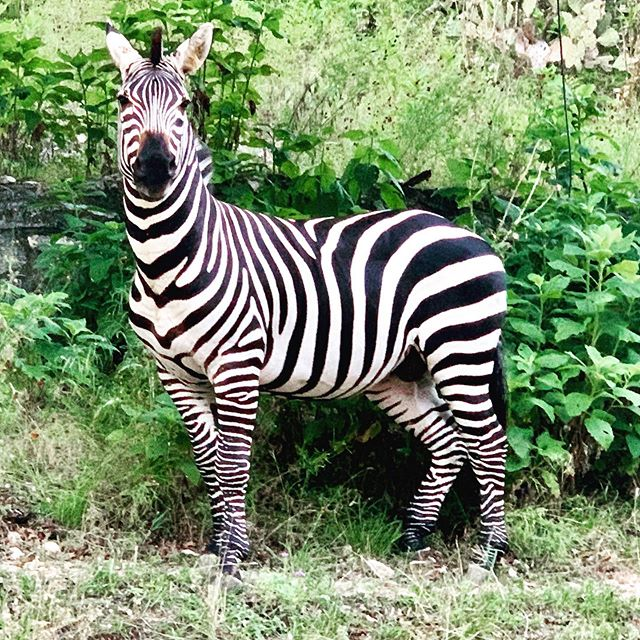 Hmmmm this would make a crazy Epic Leader.  We certainly wouldn't add this kind of pressure to the records department of AQHA....but let's have some fun with a naming contest. The most creative registration names will win  Epic Leader swag! #WhoseYourLeader ?? 😂 🦓 🐎 🤔
