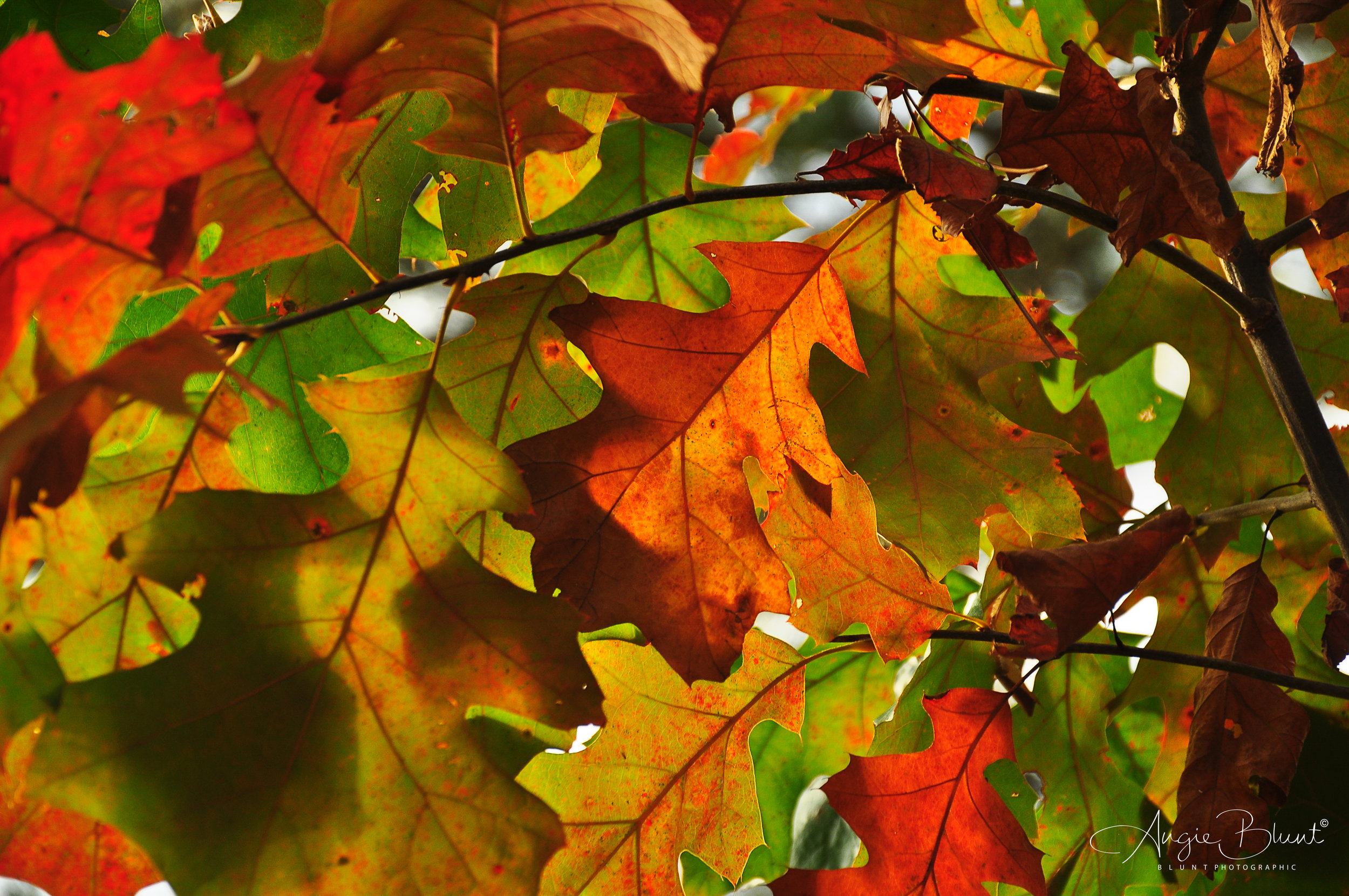 October Oak Leaves at Nimisila, Green, Ohio (2011) -  Doug Blunt