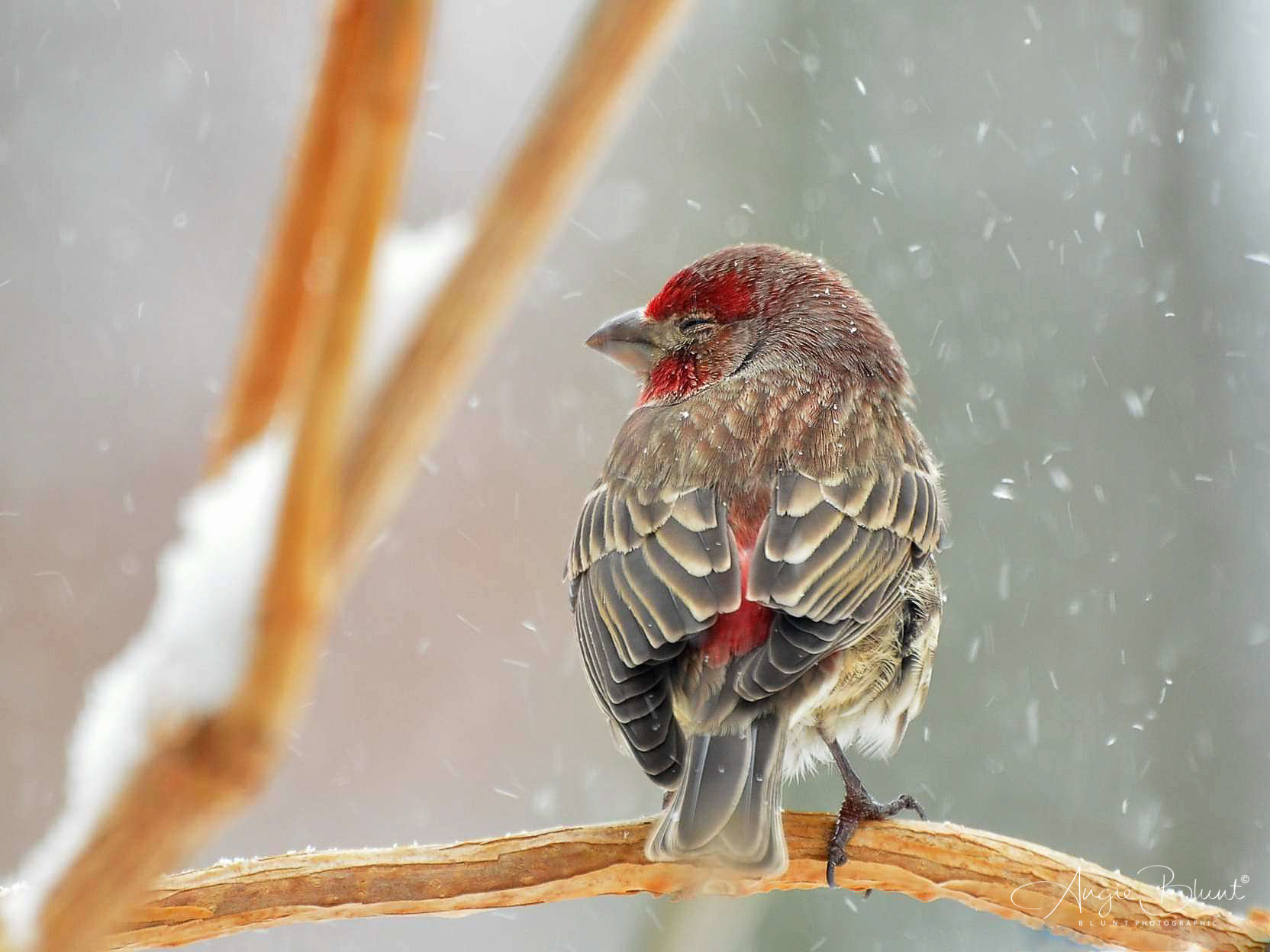 House Finch, Green, Ohio (2011) -  Angie Blunt