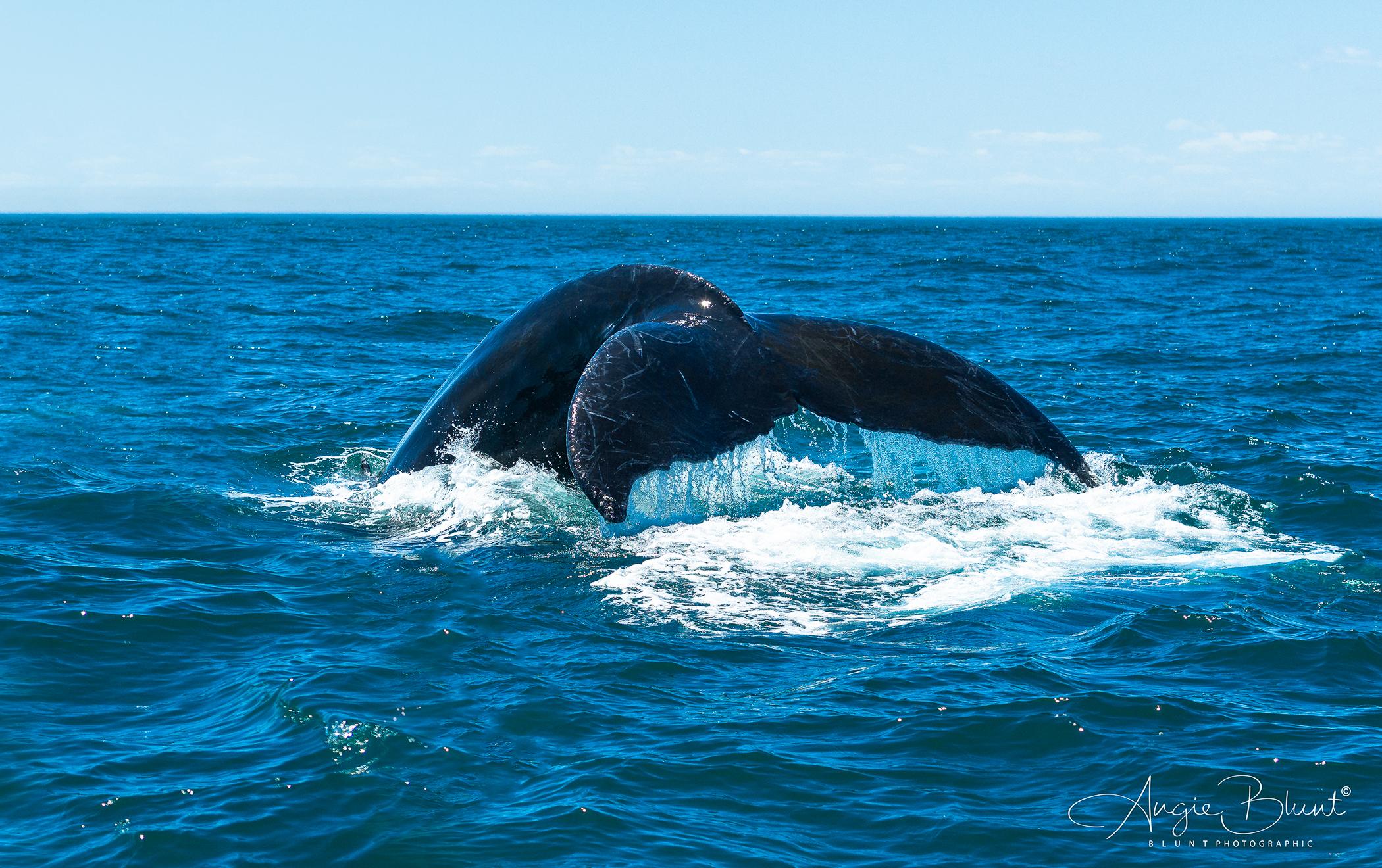 Humpback Dive, Bay of Fundy, Nova Scotia (2018) -  Angie Blunt