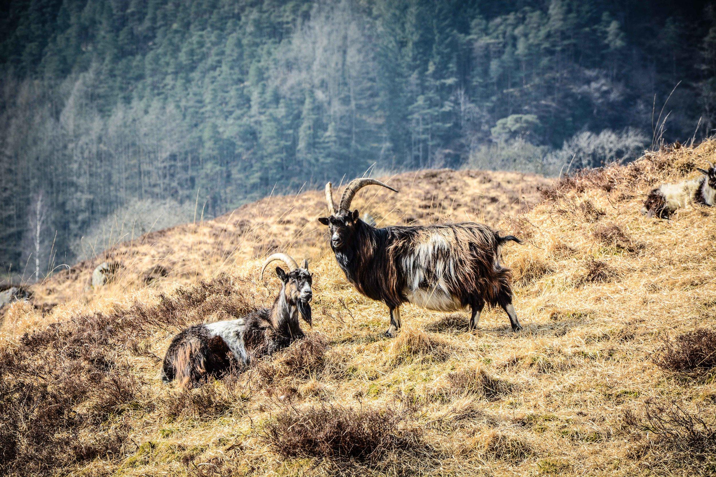 Wild Goat Park, Newton Stewart
