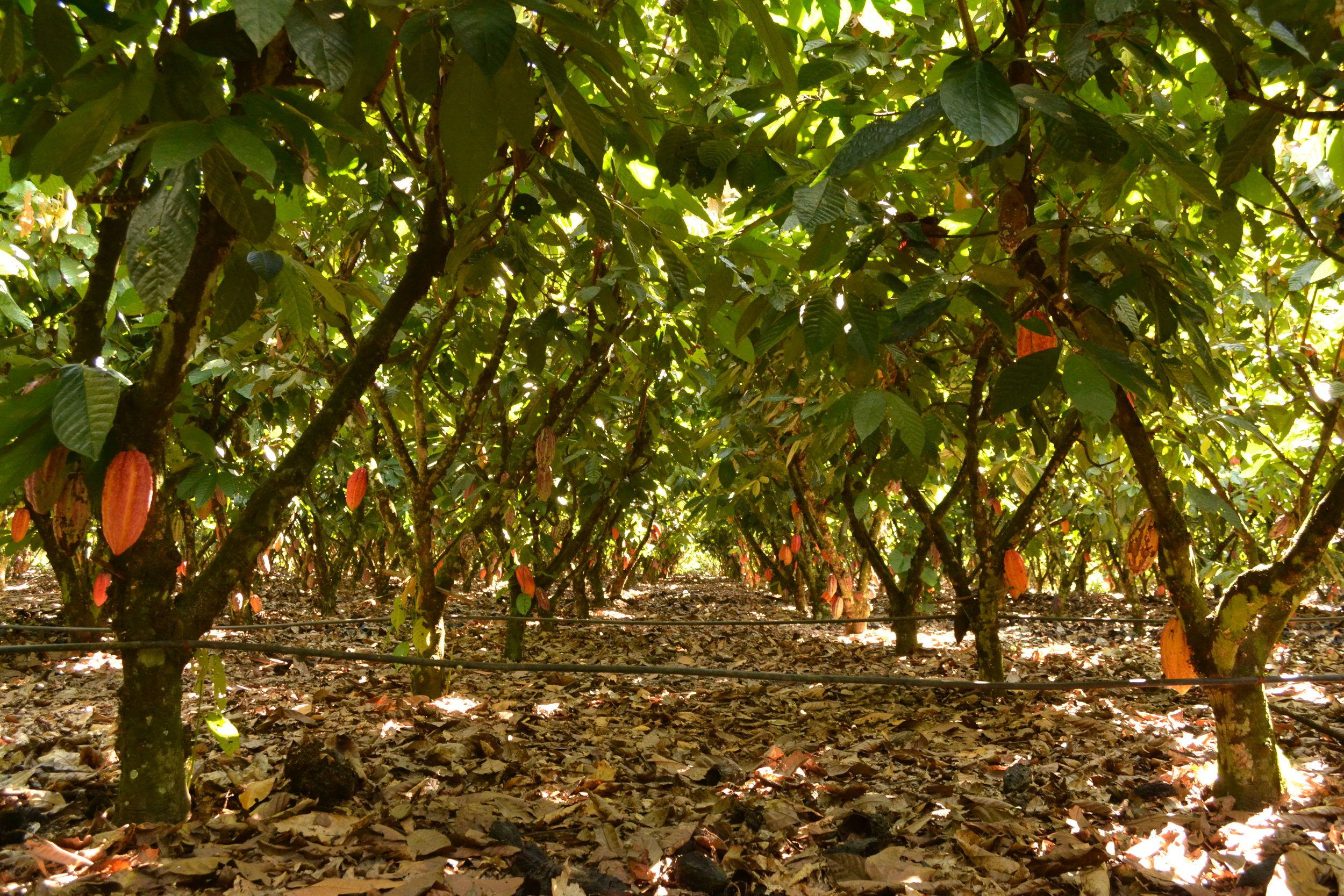 Photo Credit: WRI 20x20 Initiative, Alianza Cacao