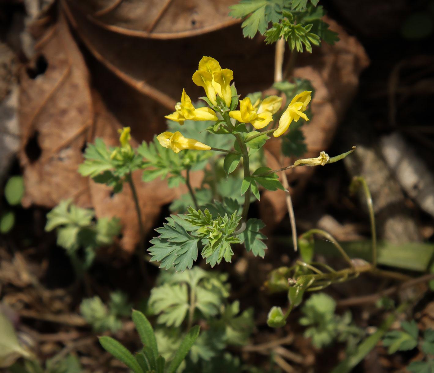 Yellow Corydalis ( Corydalis flavula)   Image by Michael Gaige