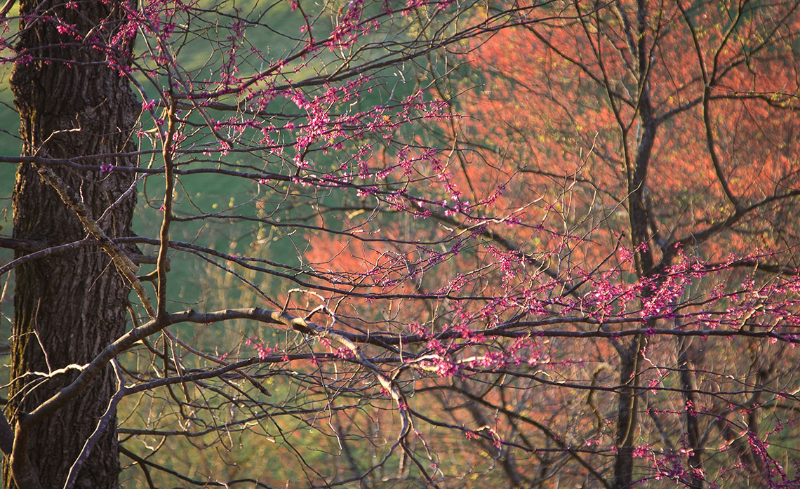 Eastern redbud ( Cercis candensis ) and red maple ( Acer rubrum)   Image by Michael Gaige