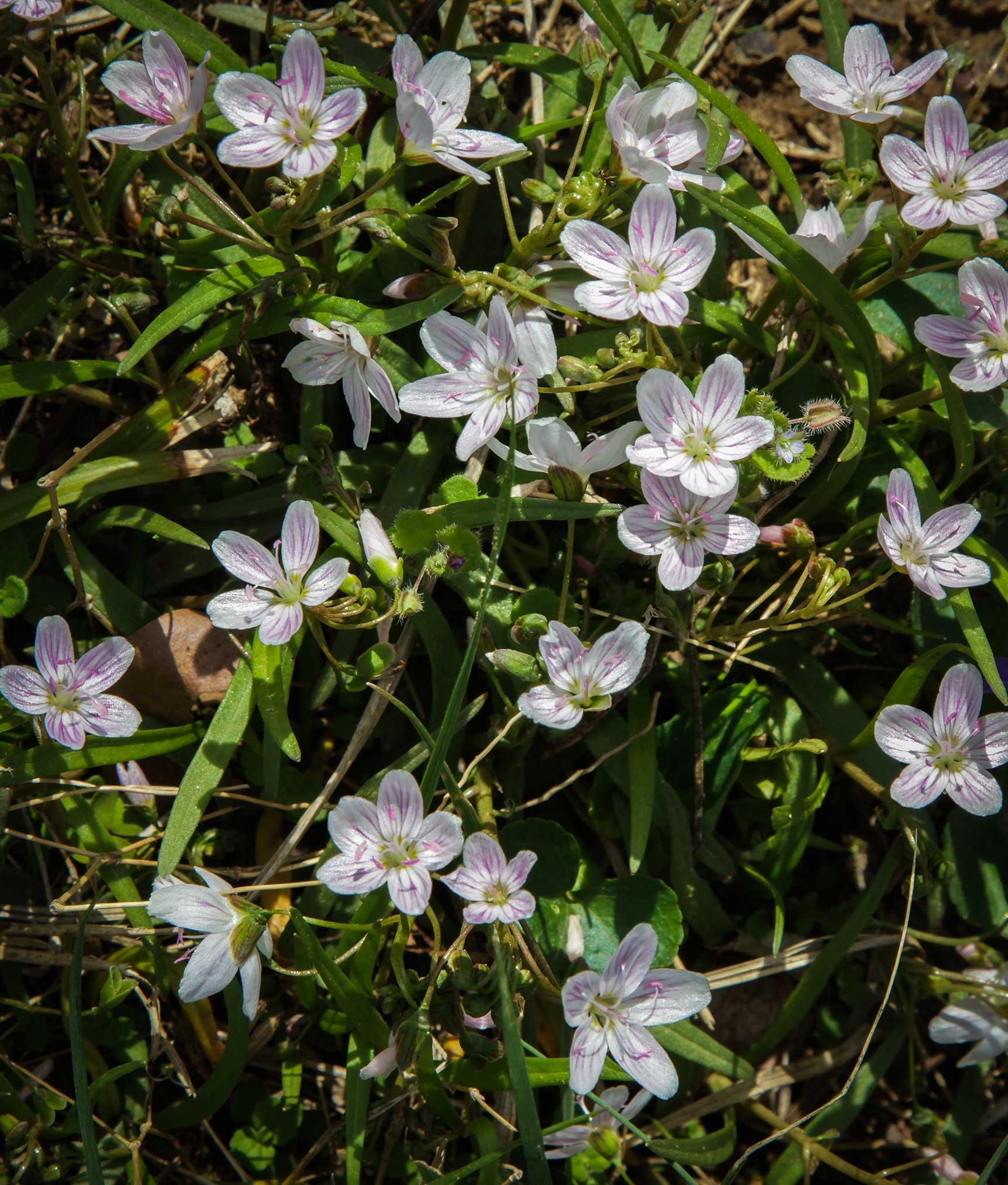 Spring beauties ( Claytonia virginica )  Image by Michael Gaige