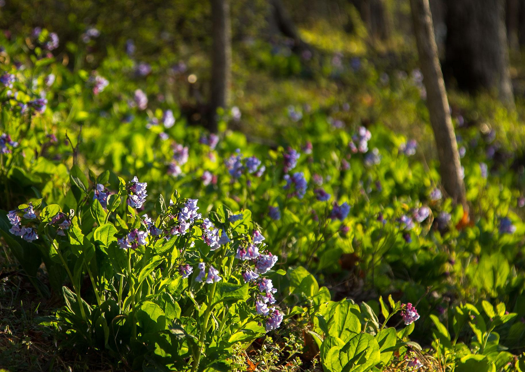 Virginia bluebells ( Mertensia virginica )  Image by Michael Gaige