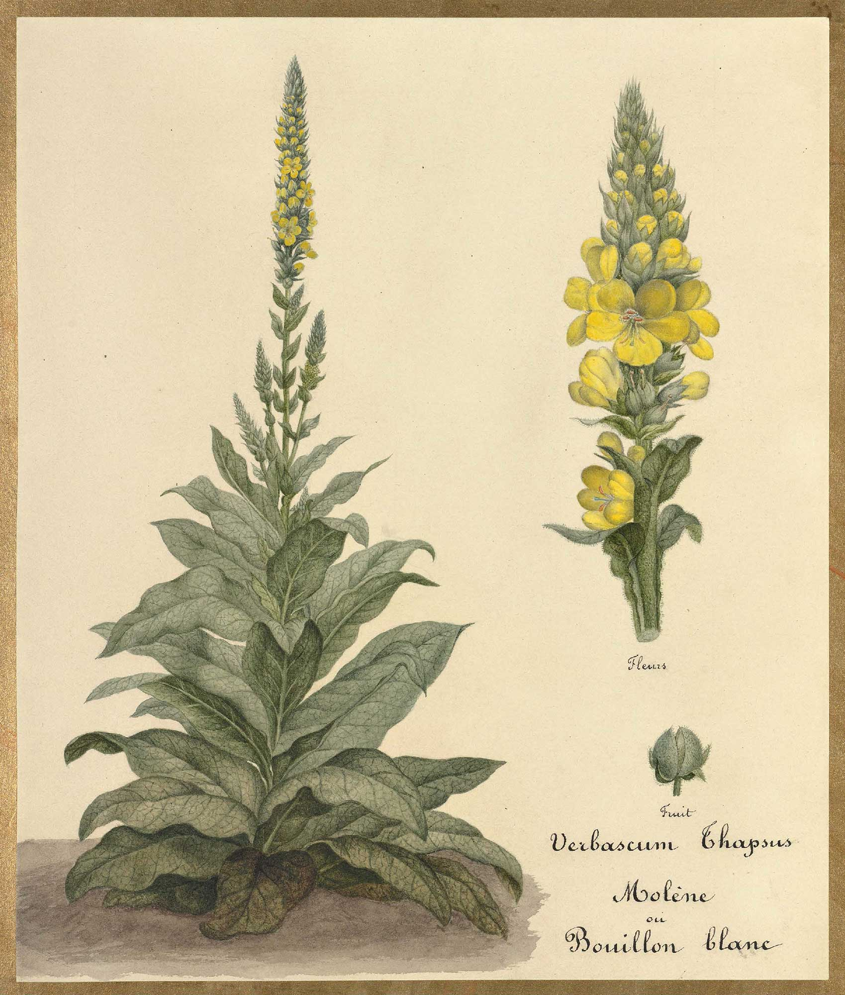 French School watercolor painting of  Verbascum thapsus , circa 1820.