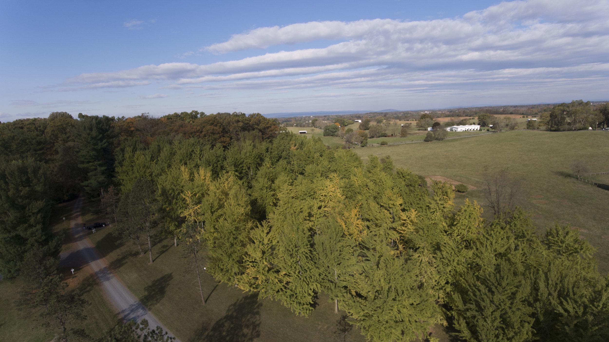 The Ginkgo Grove at Blandy Experimental Farm