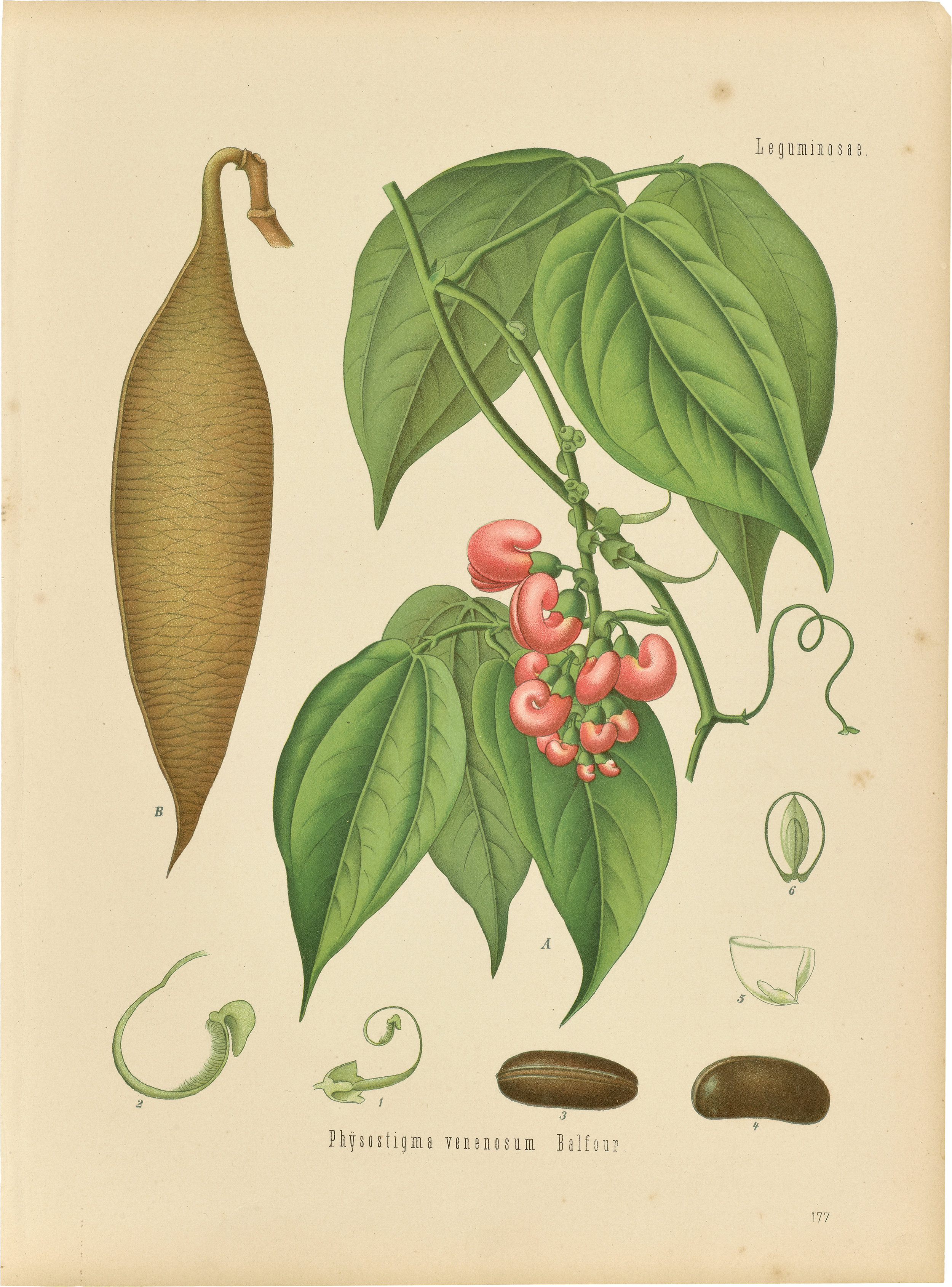An illustration from  Köhler's Medicinal Plants , 1887, housed in the Oak Spring Garden Library