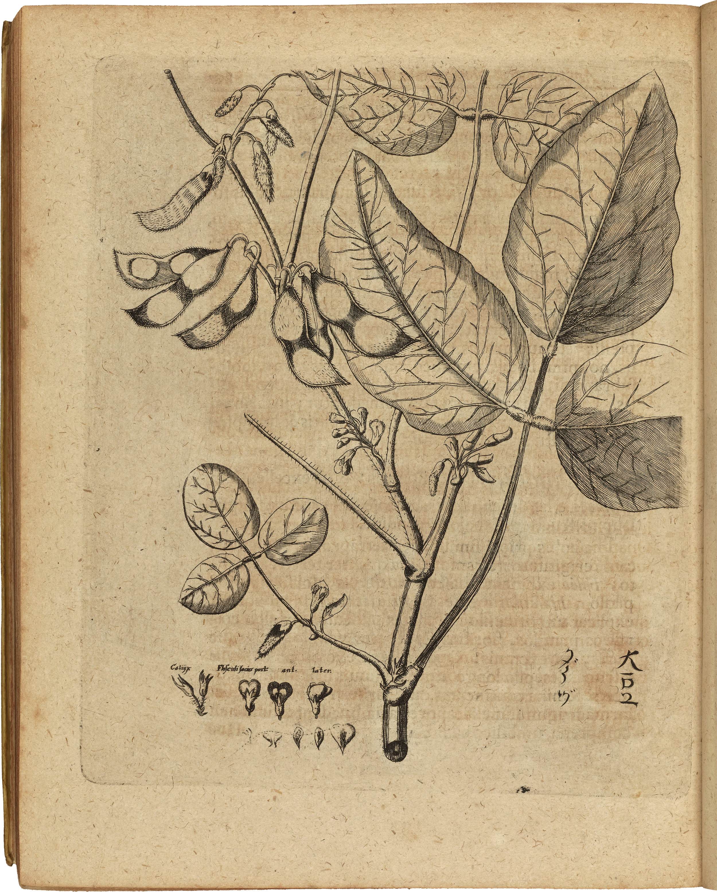 A 1712 illustration of a soybean by Engelbert Kaempfer housed in the Oak Spring Garden Library