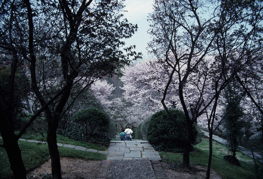 Prunus Walk.jpg