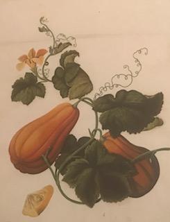 CANTONESE ARTIST.  Gourds - 'Curcubita pepo ovifera.'   Circa 1805-1810. From the OSGF library.