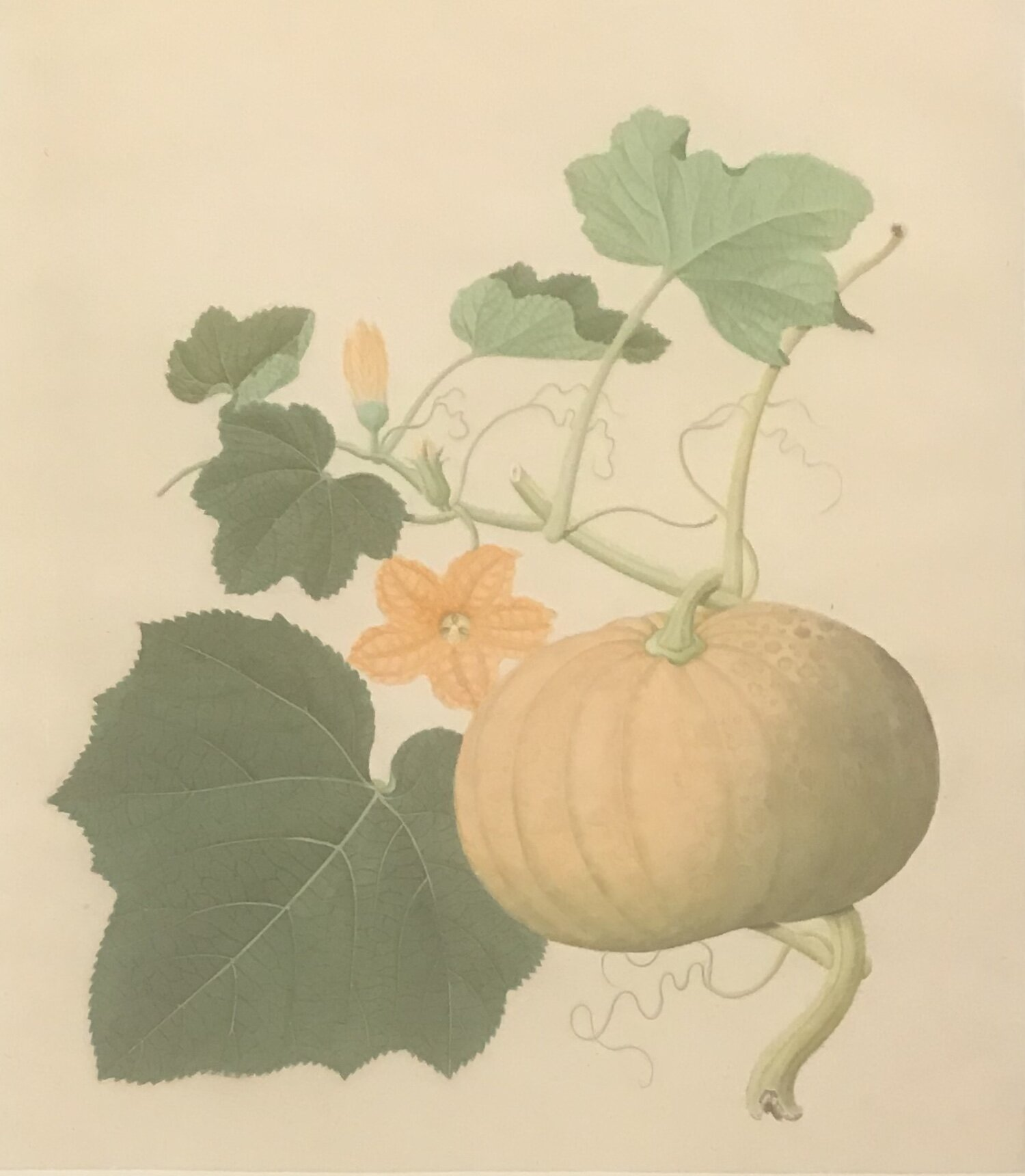 CHINESE ARTIST, WORKING IN CANTON OR MACAO  [ A squash]  Circa 1805. From the OSGF library.