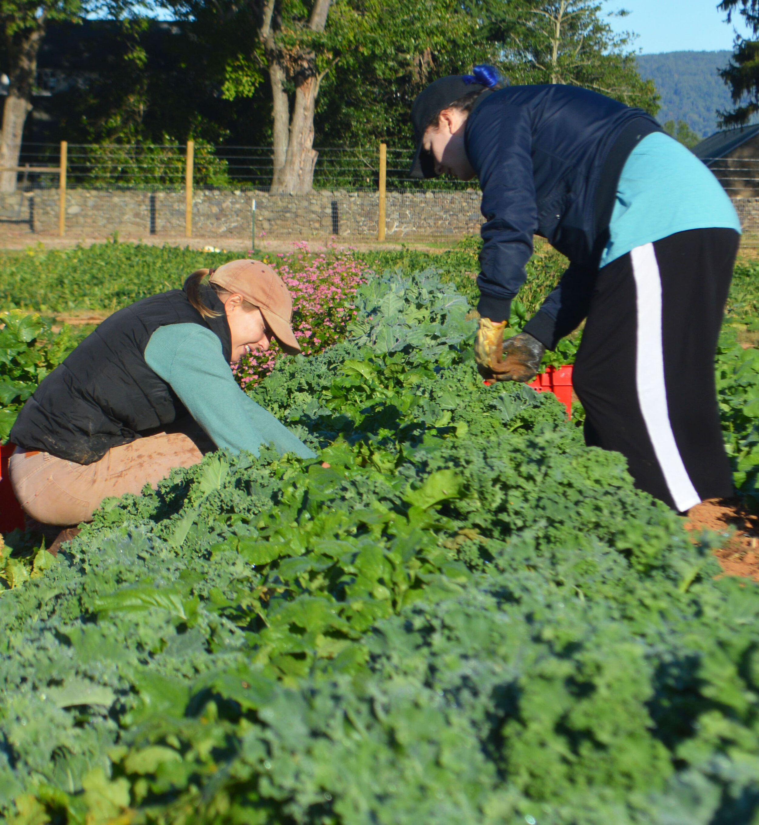 The BCCF harvesting greens this fall.