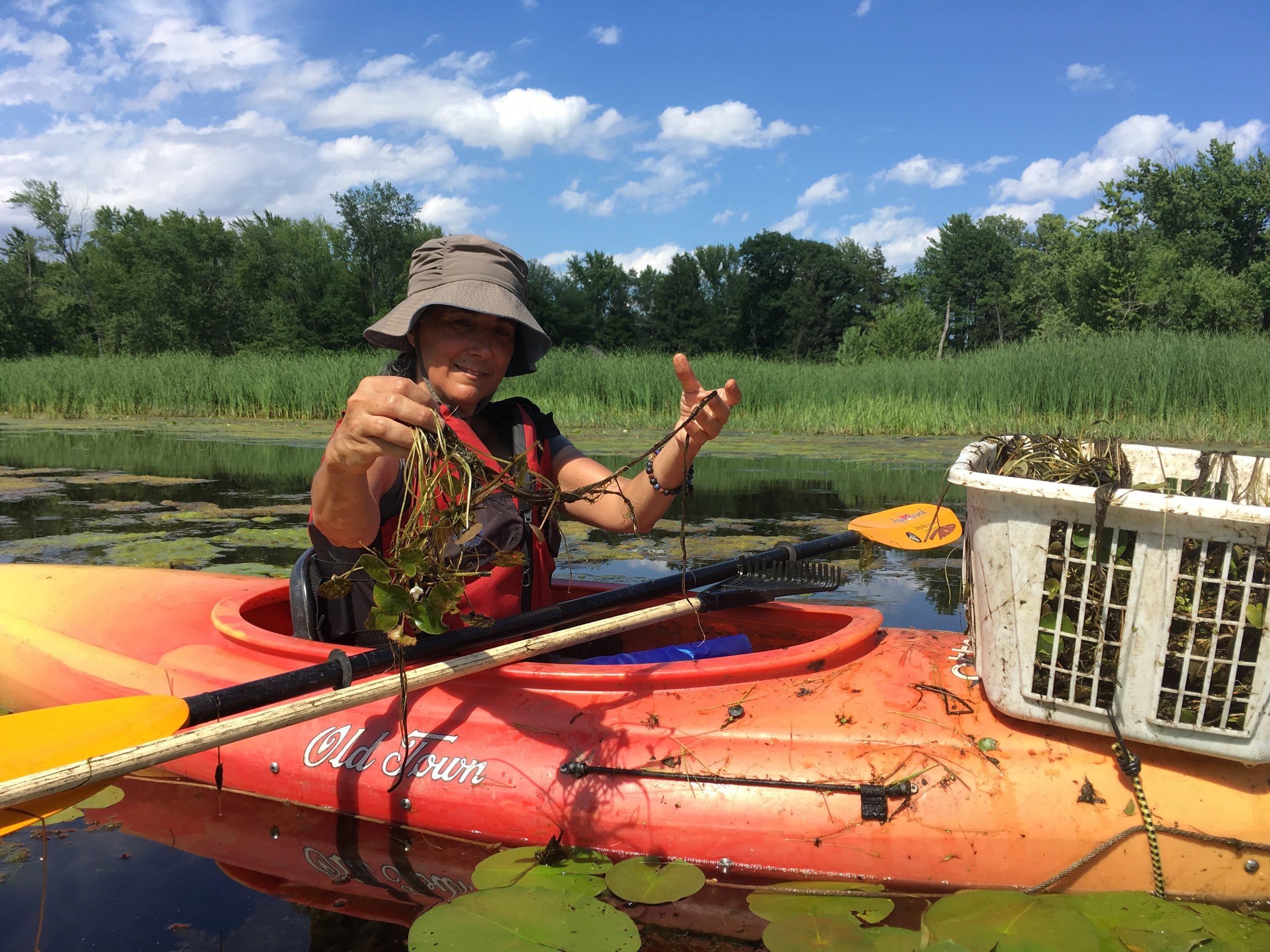 Volunteer Roberta Nubile removes European frogbit from the LaPlatte Natural Area, Shelburne