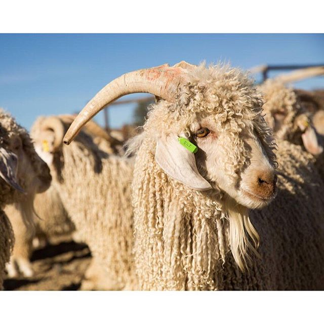 Incredibly privileged to work with these beautiful animals -  Angora Goats find their home in the Karoo, producing most of the world's mohair. Always amazed how the harsh vegetation and landscape of the Karoo veld produces the finest quality, soft and luxe mohair textiles and garments 🌾🌾🌾 #vanhasseltfarming  #angoragoats  #mohairsouthafrica  #sustainablefarmingpractices  #karoo