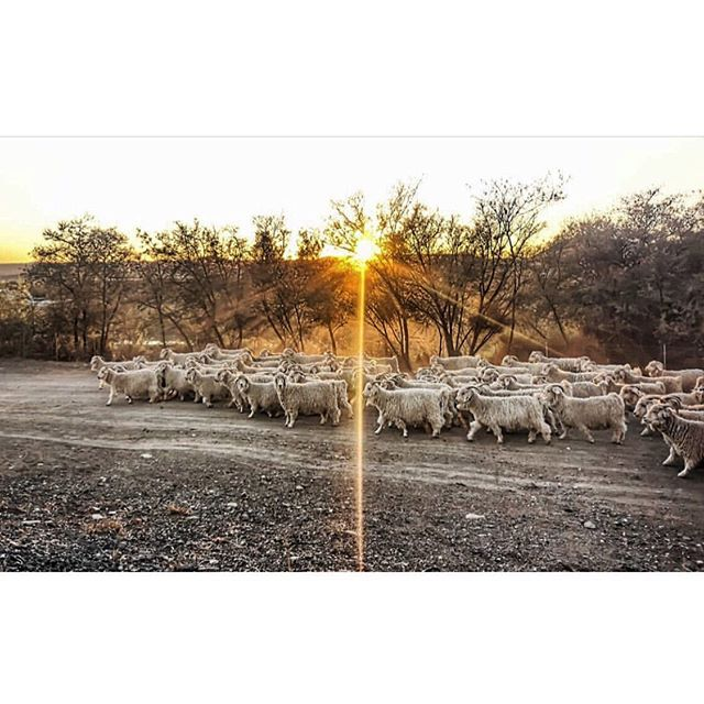Love this sunrise scene - Thank you @quintessential_karoo for capturing the goats on the move  #angoragoats  #princealbertliving  #karoo #mohair #vanhasseltfarming