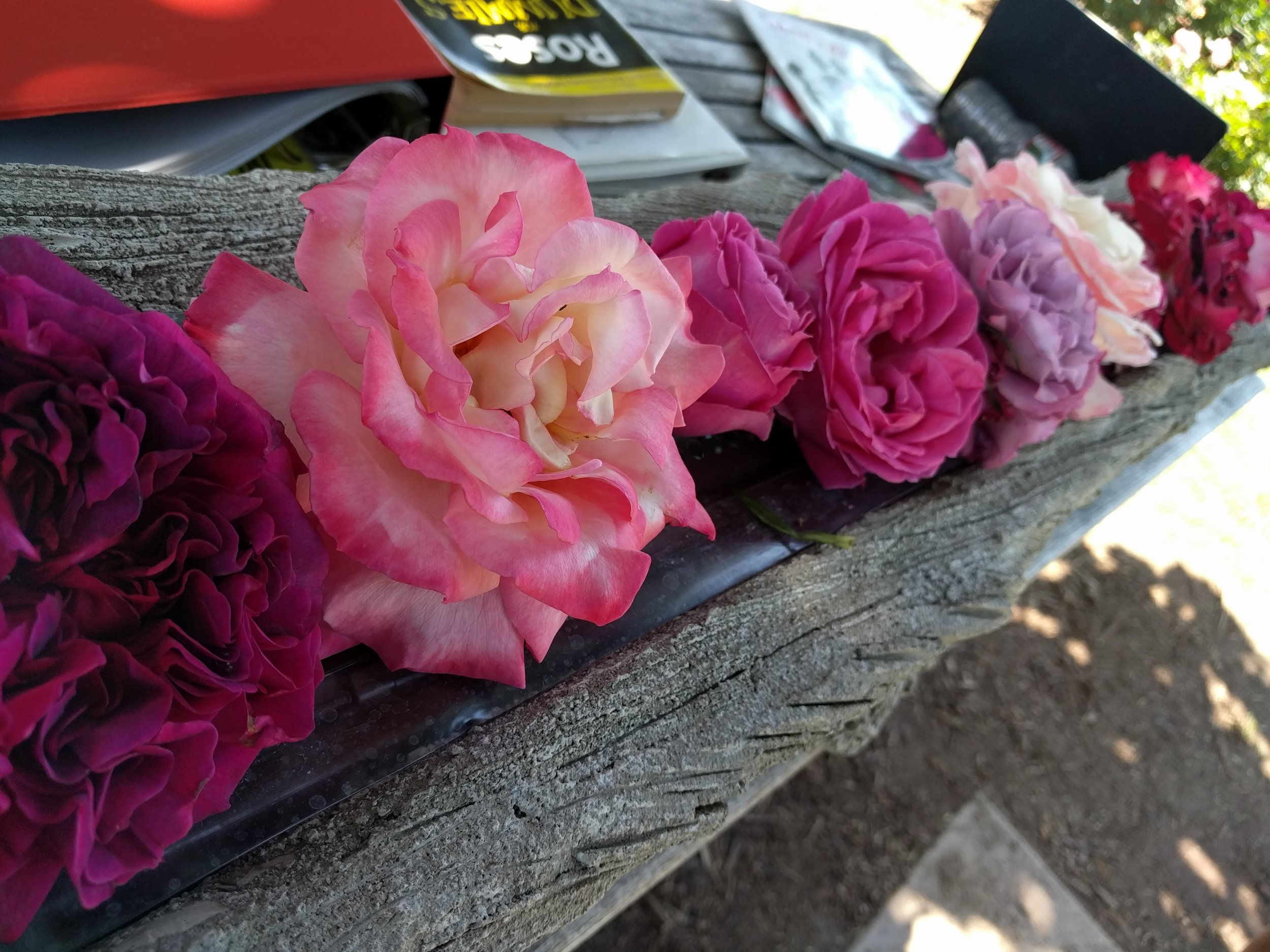 Roses at the Huntington Botanical Gardens, San Marino, CA
