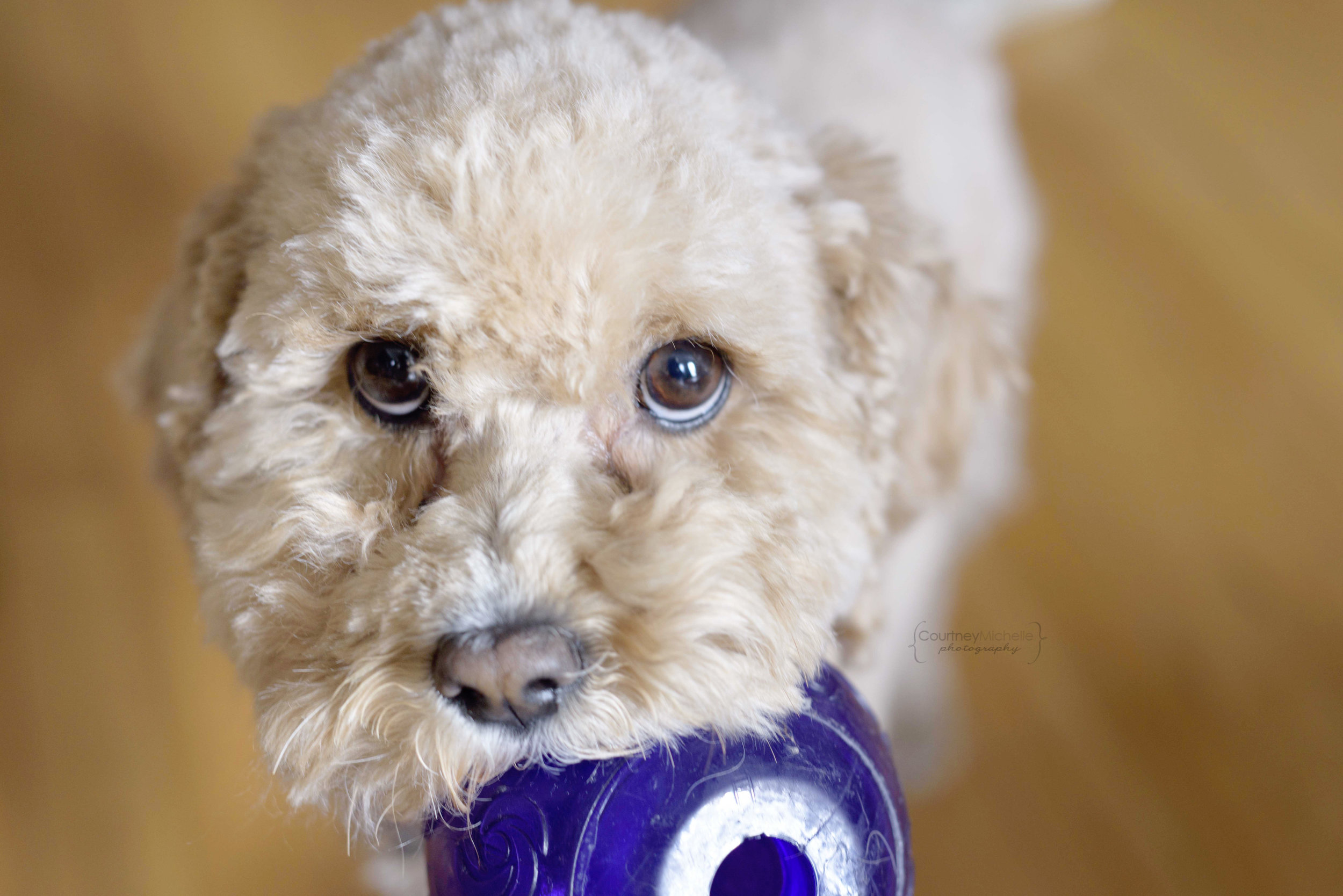 dog_with_ball_chicago_pet_photography_by_Courtney_Laper©COPYRIGHTCMP-0741.jpg