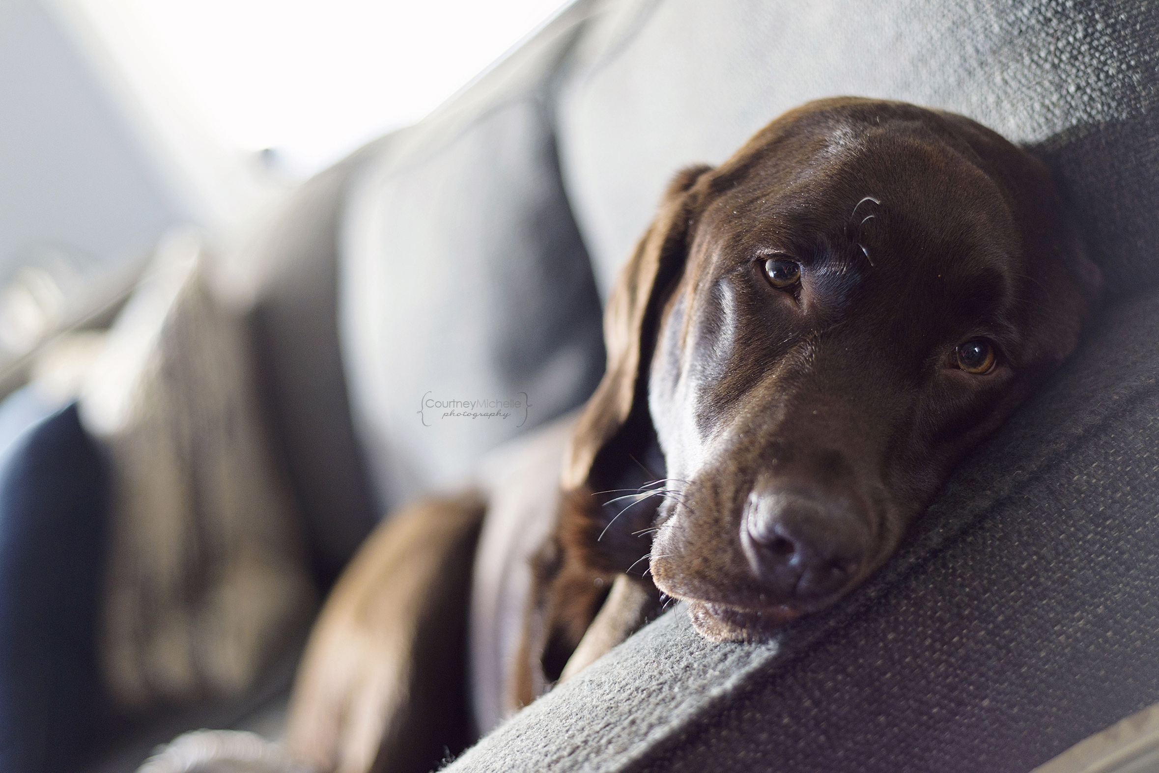 chicago-dog-photographer-chocolate-lab-photography-by-courtney-laper©COPYRIGHTCMP-1687.jpg