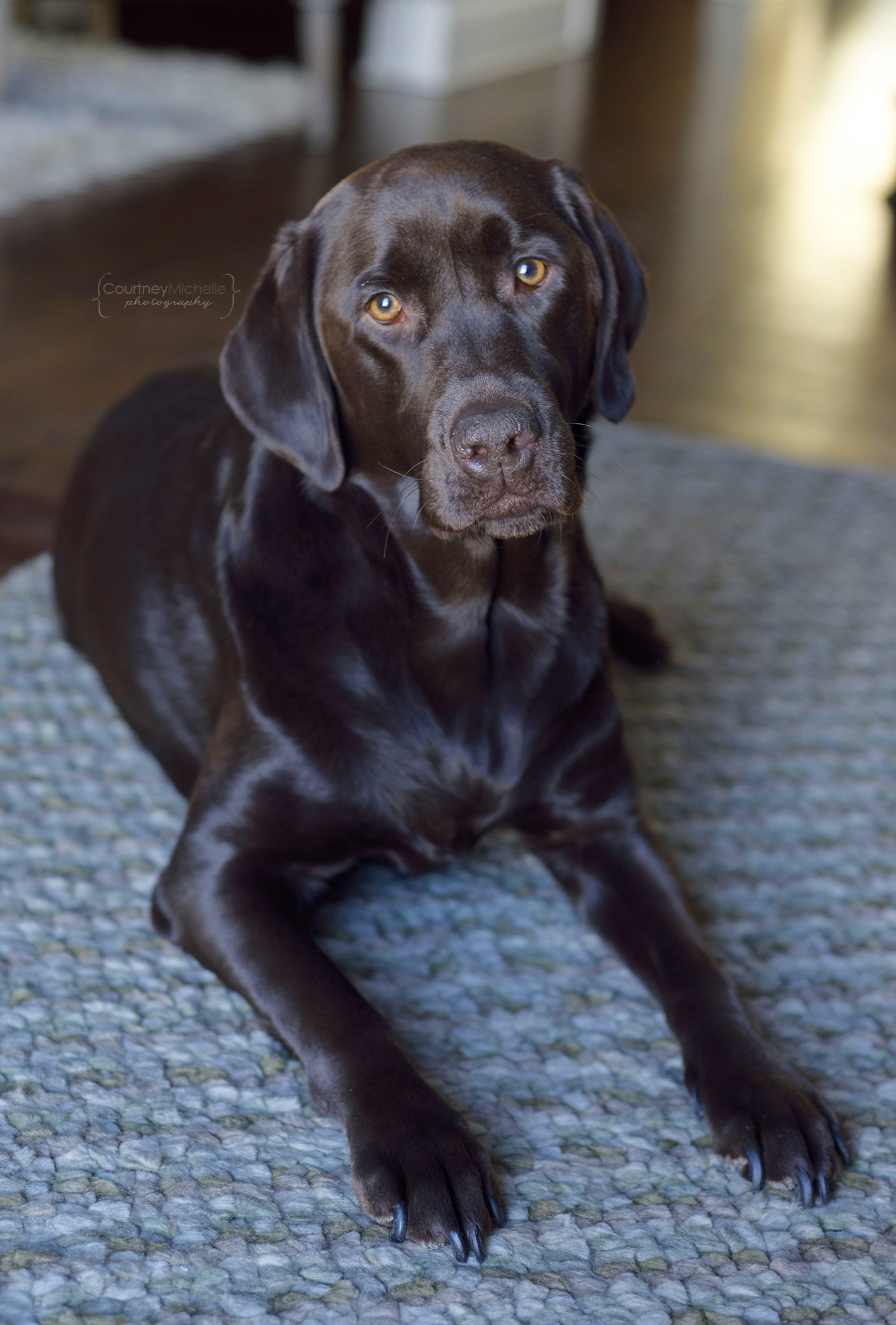 chicago-dog-photographer-chocolate-lab-photography-by-courtney-laper©COPYRIGHTCMP-1849.jpg