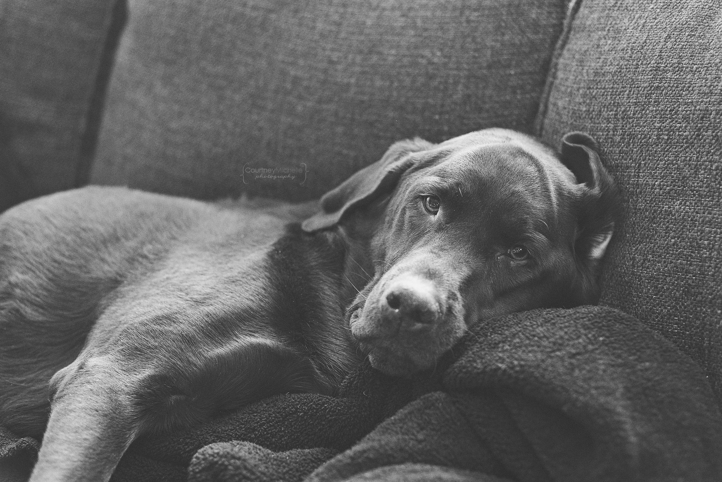 chicago-dog-photographer-chocolate-lab-photography-by-courtney-laper©COPYRIGHTCMP-1711bw.jpg