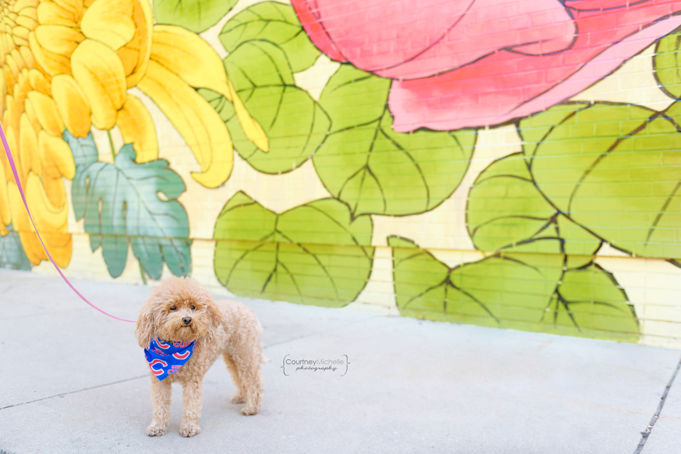 chicago-pet-photographers-courtney-laper-teacup-doodle-southport-avenue-COPYRIGHTCMP_Diogi-2019-07-12-3785-72.jpg