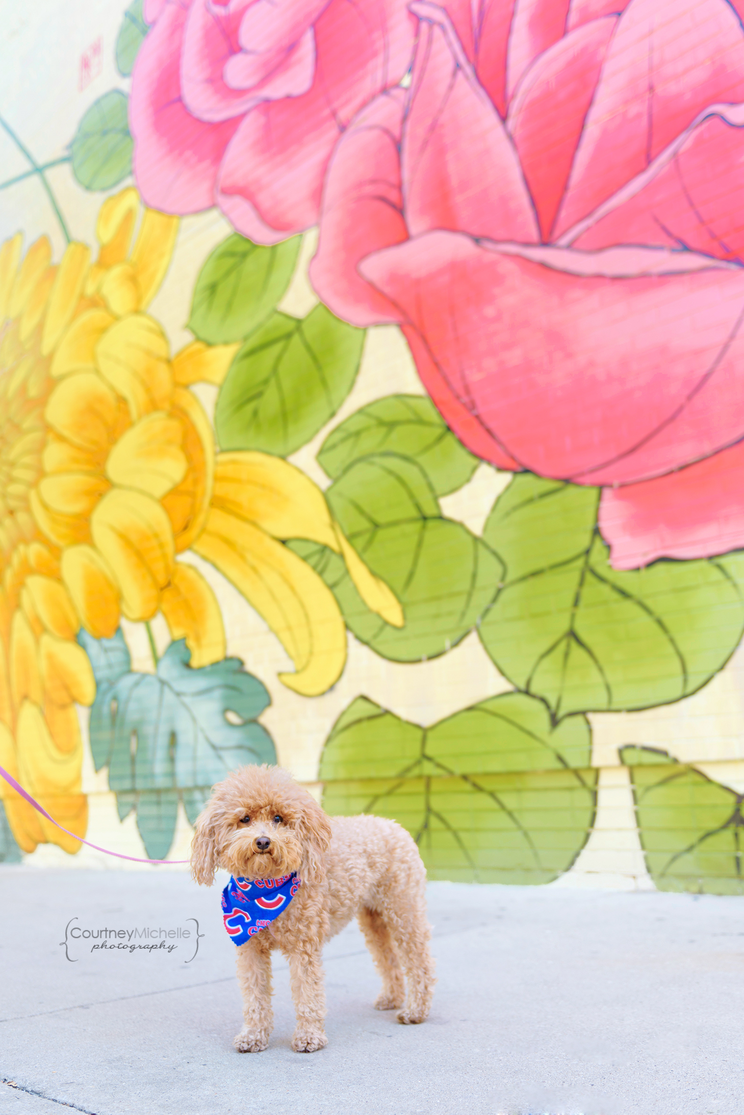 chicago-pet-photographers-courtney-laper-teacup-doodle-southport-avenue-COPYRIGHTCMP_Diogi-2019-07-12-3796-75.jpg