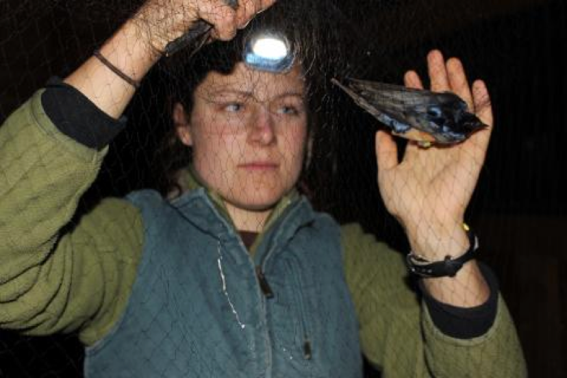 Figure 1: Amanda removing a bird from a mist net. (Photo courtesy of Amanda Hund)