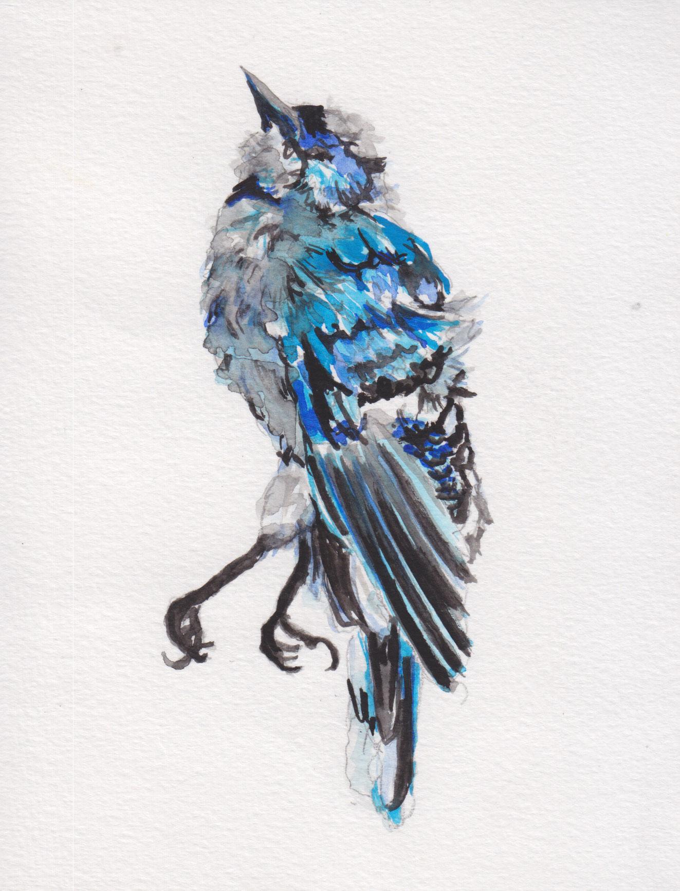 Dunn_bluejay_watercolor.jpg