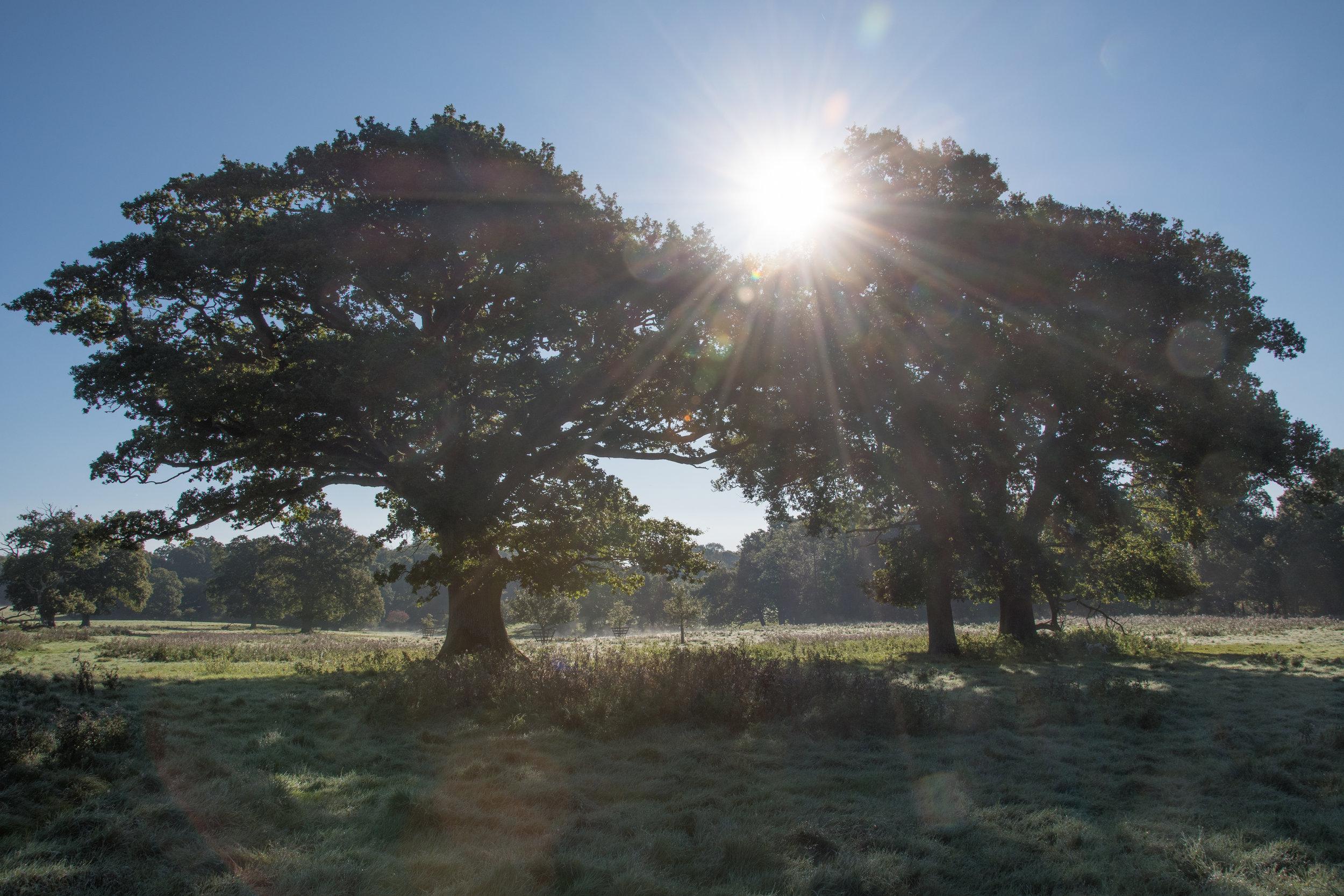 Photo: Oaks on Knepp Estate