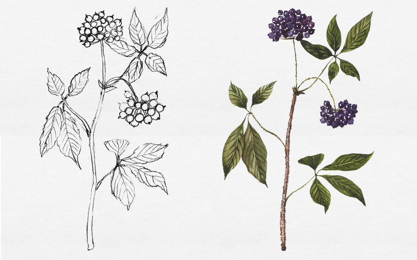 Custom botanical illustrations and original plant drawings — Botanical  illustration studio by Anna Farba