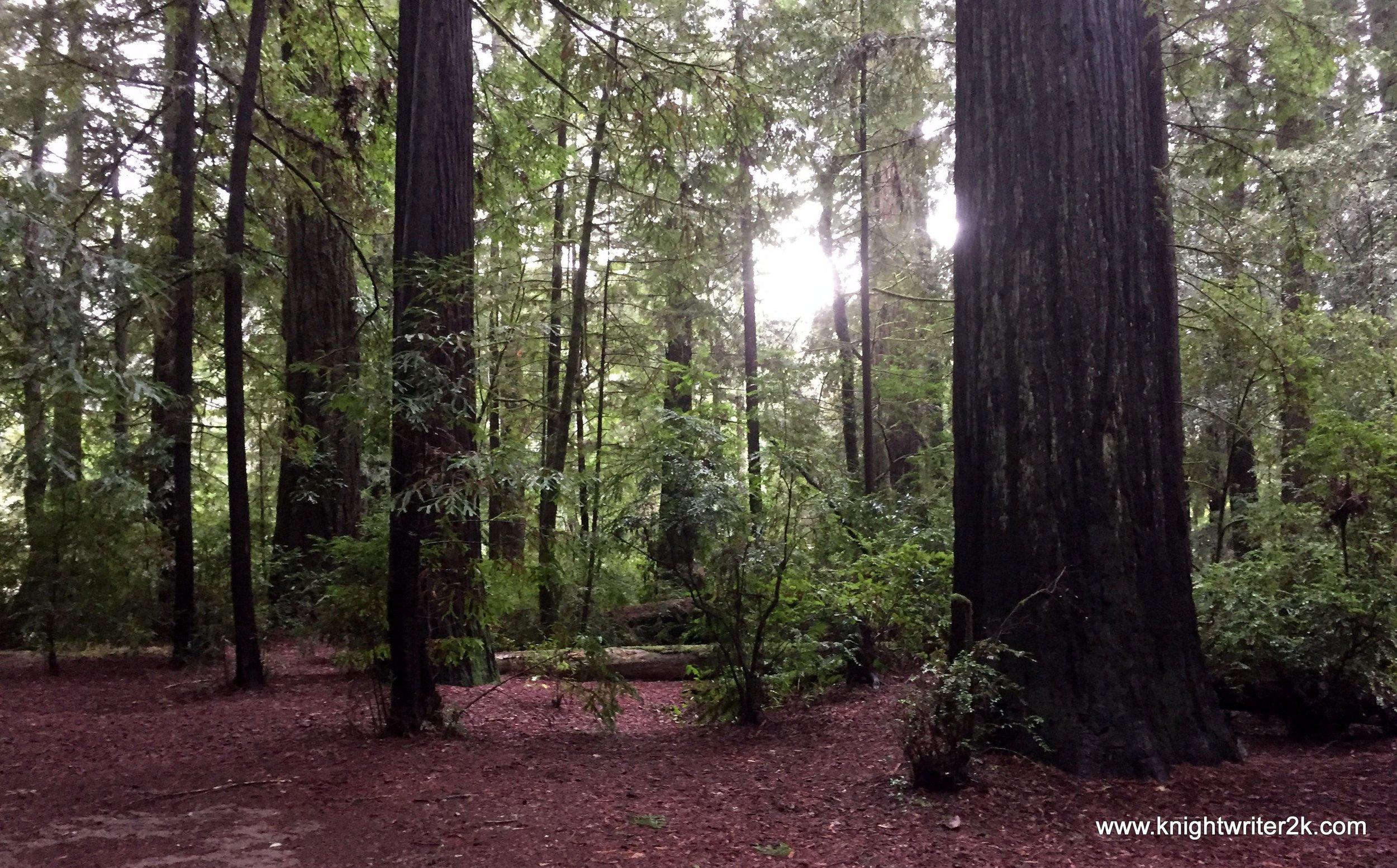 The redwoods of California. Amazing.