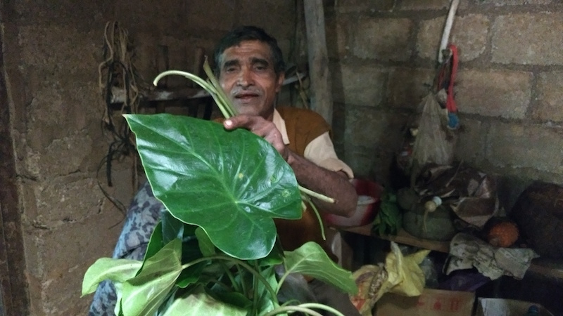 Thamaya displays freshly foraged taro leaves