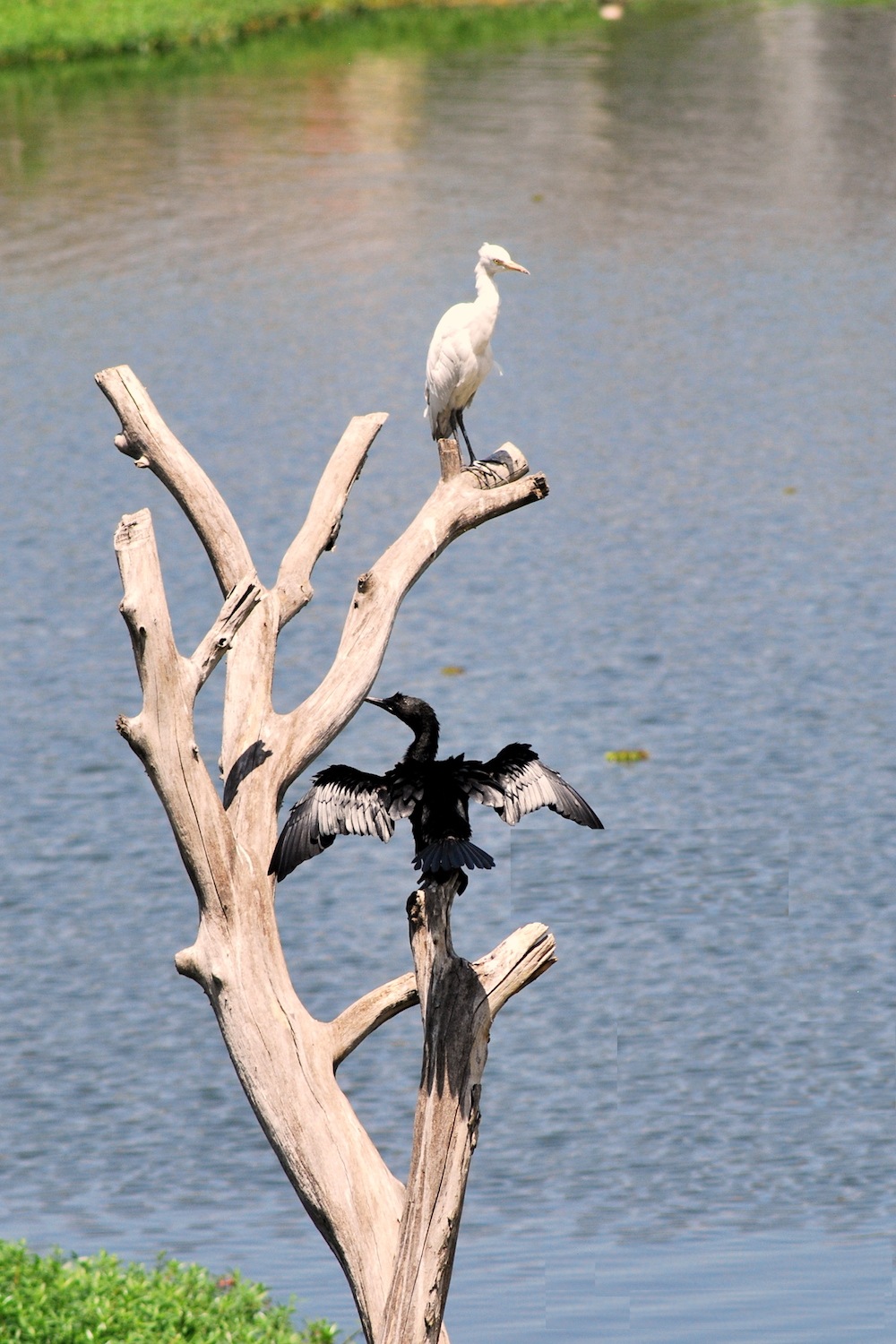 An egret and cormorant on a perch in the lake Image: Shivu Clicks