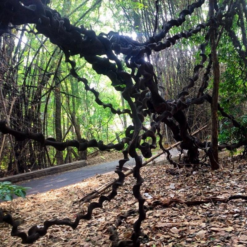 The liana creeper (Photo:Author)