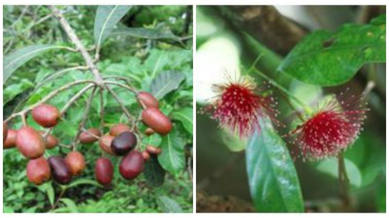 (Left) Holigarna arnottiana Hook. f. and (right)   Syzygium laetum (Buch.-Ham.) Gandhi (Photo: Dr T V Ramachandra)