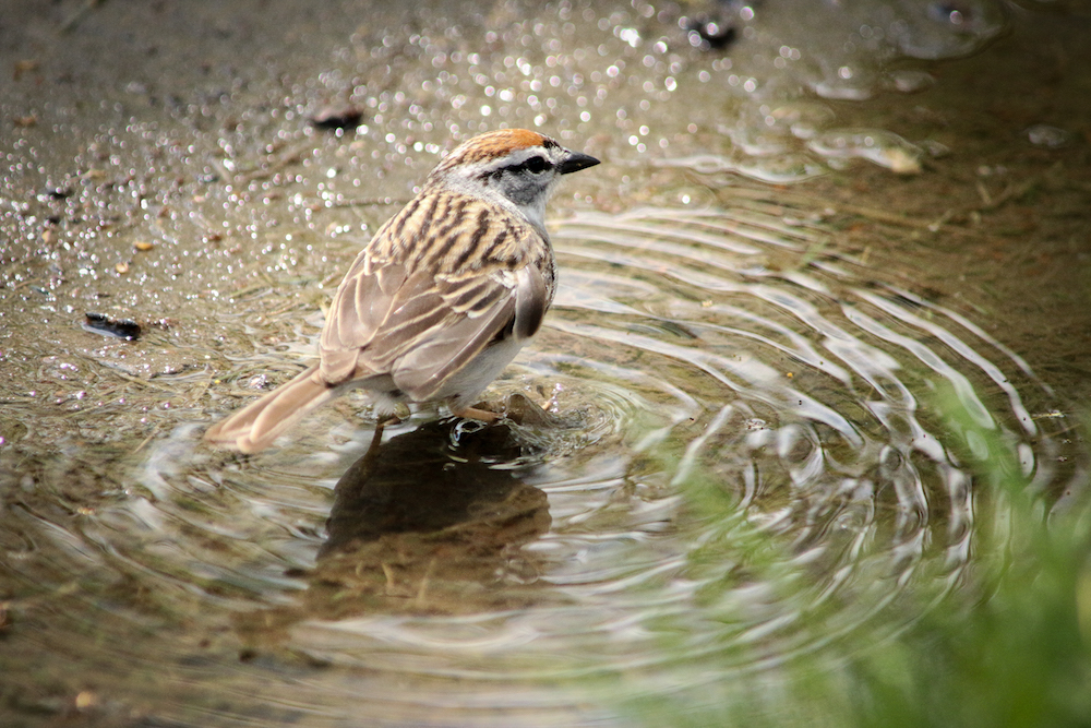 A sparrow cools off. Image: Flickr CC/  brian.abeling