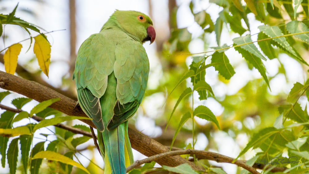 A rose-ringed parakeet on a neem tree. Image: Flickr CC/  Steven dos Remedios