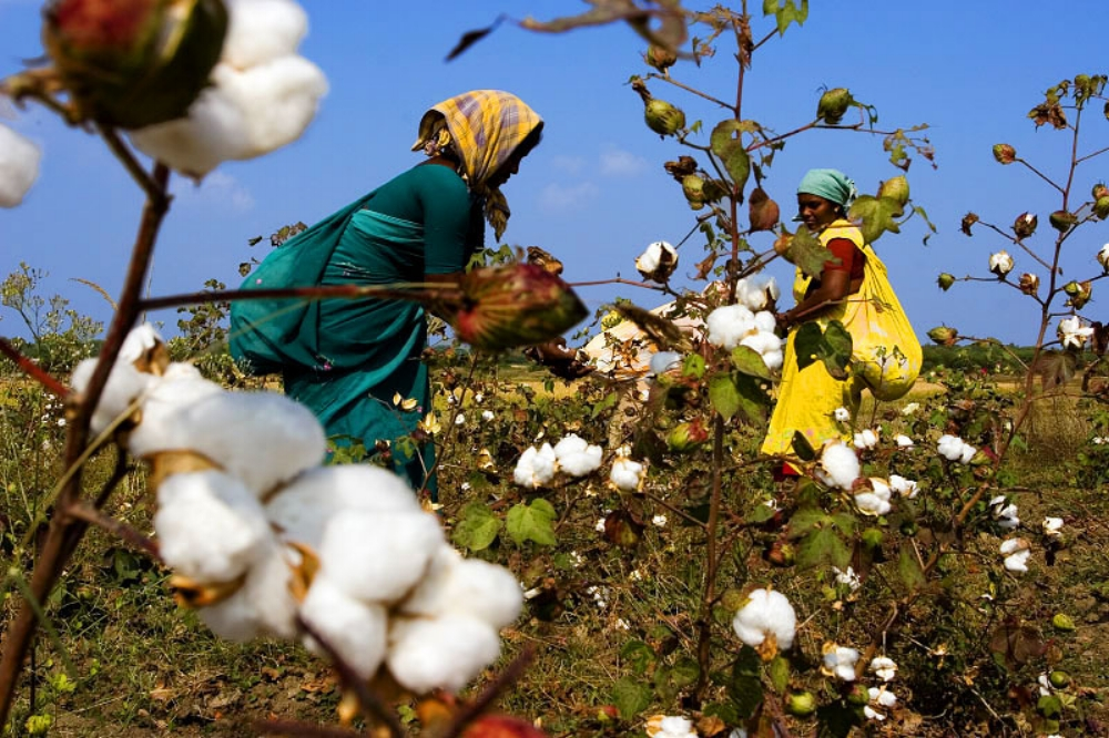 Bt cotton was far from the 'miracle crop' it was touted to be.  Source