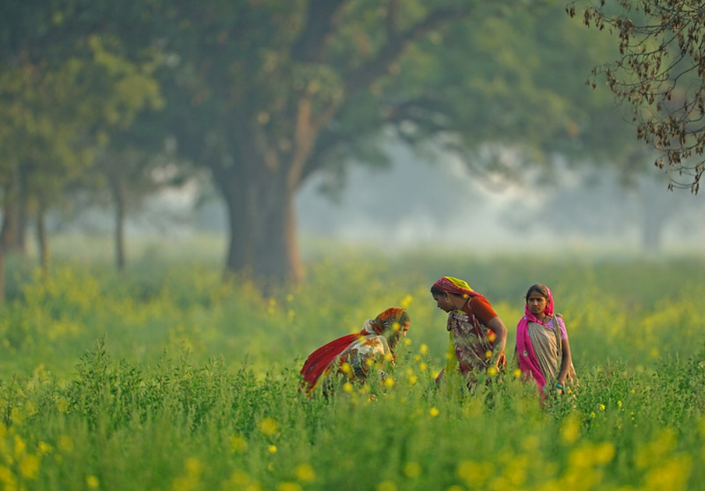 Women, traditionally involved in manually weeding mustard fields face loss of employment with the new herbicide-tolerant GM mustard. Image: Flickr CC/ Nitin Bhardwaj