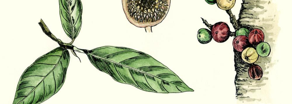 Ficus racemosa  Source