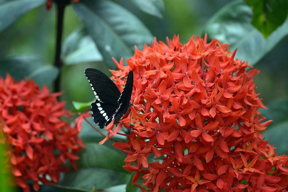 A Common Mormon alights on an Ixora Image: Wiki Commons