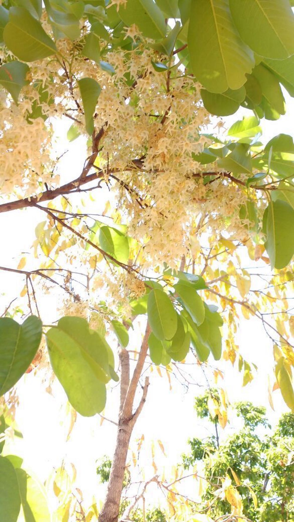 Shorea roxburghii  (ಜಾಲಾರಿ) occurs gregariously in the forests of Mysuru and Bengaluru. The trees flower during Shivarathri,filling the forest air with their strong fragrance.