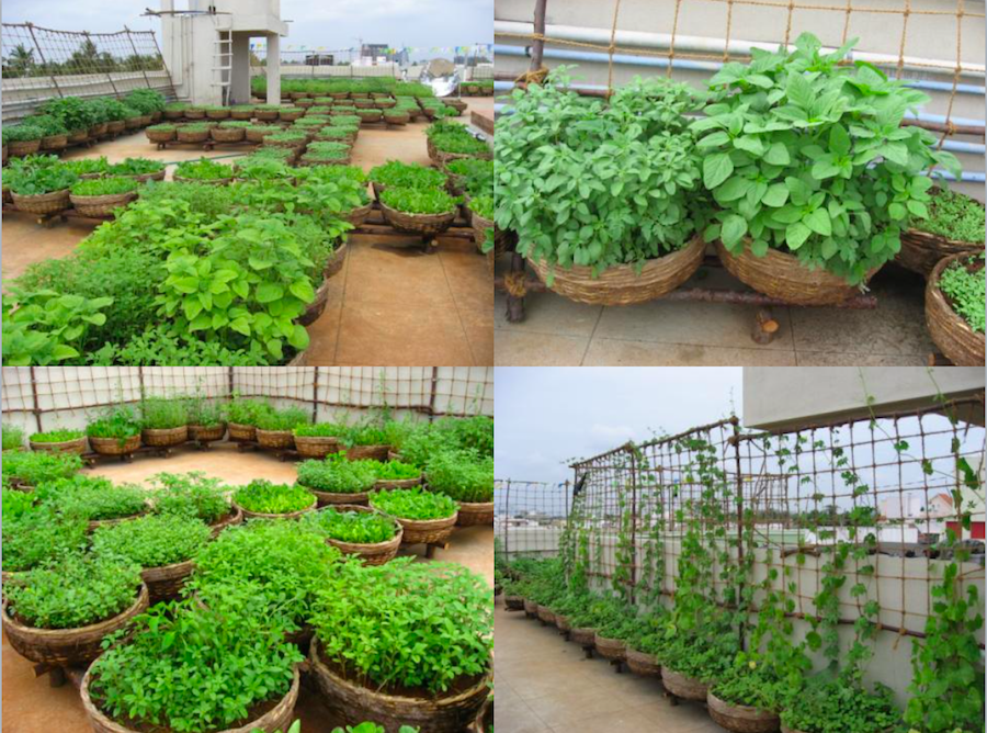 Farming on apartment terraces where organic manure is used.