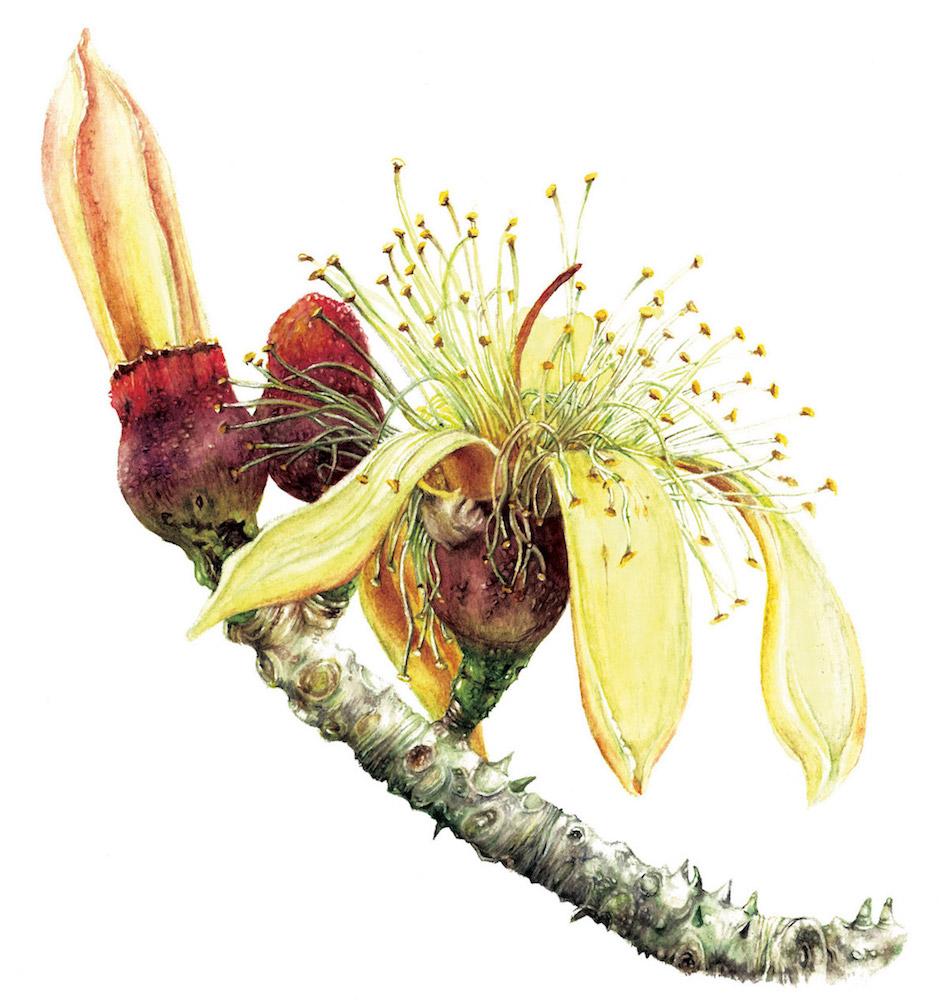 Bombax insigne flower